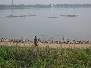 002_Duck herding