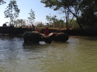 139k_water buffalo bathing
