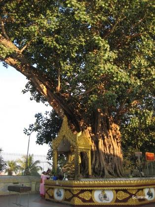 035_Bodhi tree
